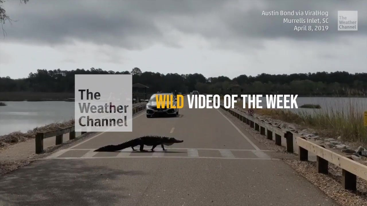 Wild video of the week