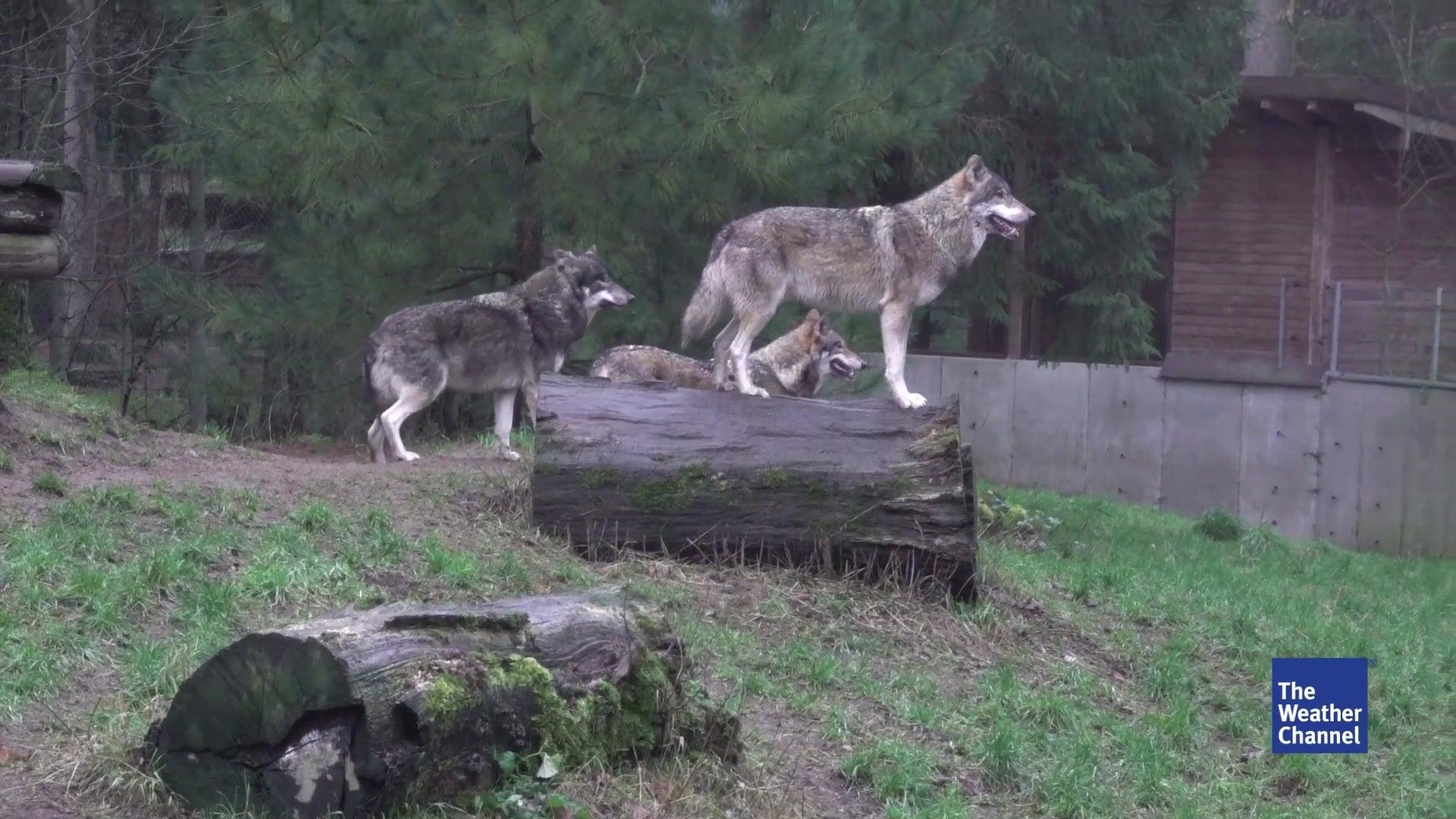 Ungeahnte Popularität: Warum Wölfe die Nähe von der Bundeswehr suchen