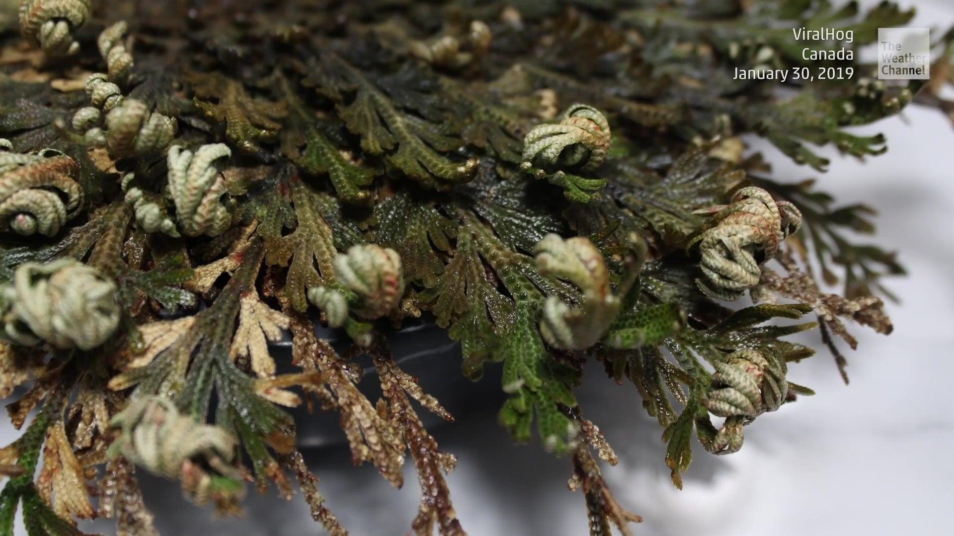 Wüstenpflanze kennt Rezept für ewiges Leben
