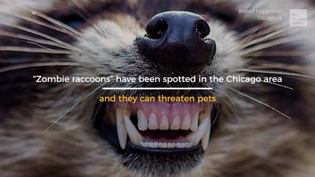 "Authorities in the Chicago area are warning residents of the increasing number of ""zombie raccoons."" The infected animals can act zombie-like, and carry a distemper virus that can be deadly to dogs."