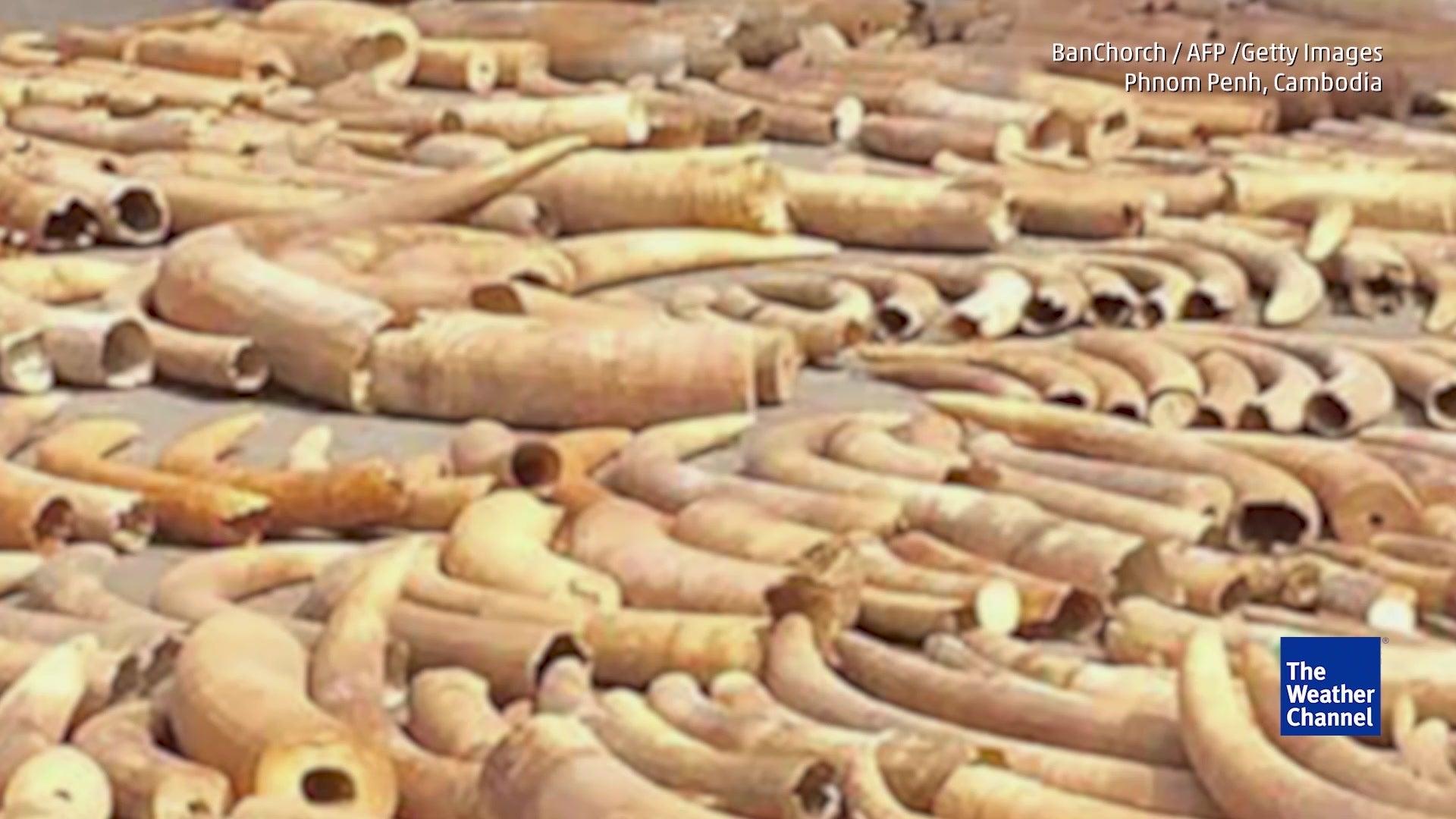 Kambodscha: 3,2 Tonnen illegales Elfenbein gefunden