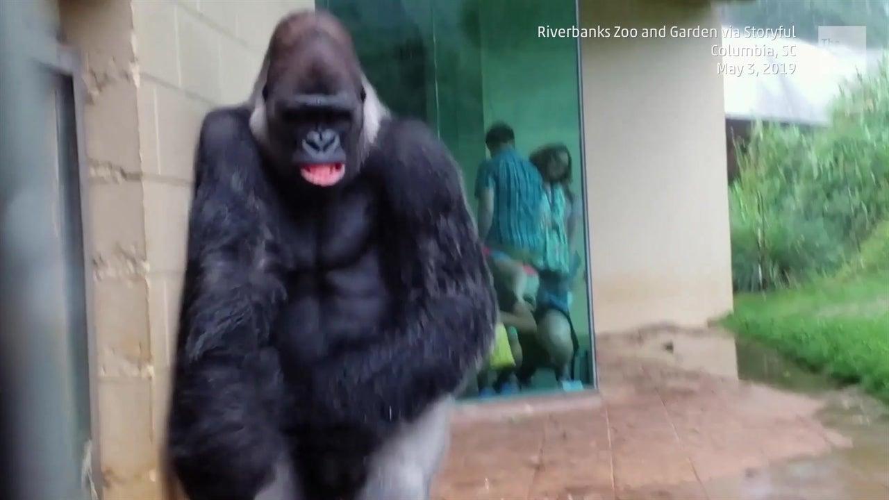 Diese Gorillas aus dem Riverbank Zoo in der Stadt Columbia sind wenig begeistert von Regen. Die menschlichen Zuschauer können bestimmt mitfühlen.