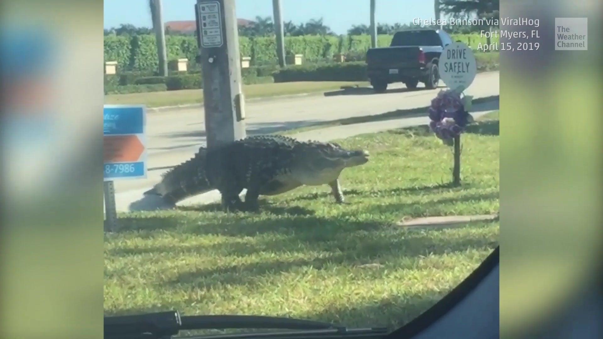 Liebestolle Alligatoren laufen durch Floridas Städte