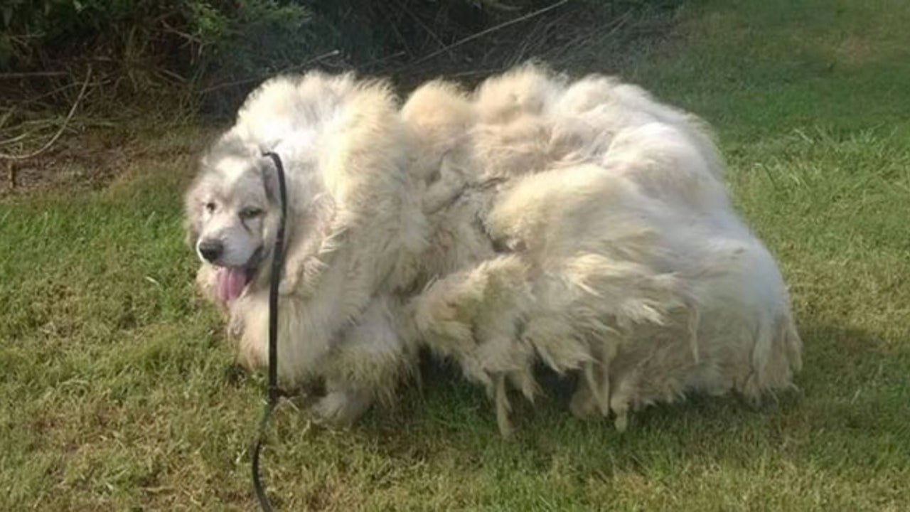 Dog Gets Groomed, Loses 35 Pounds