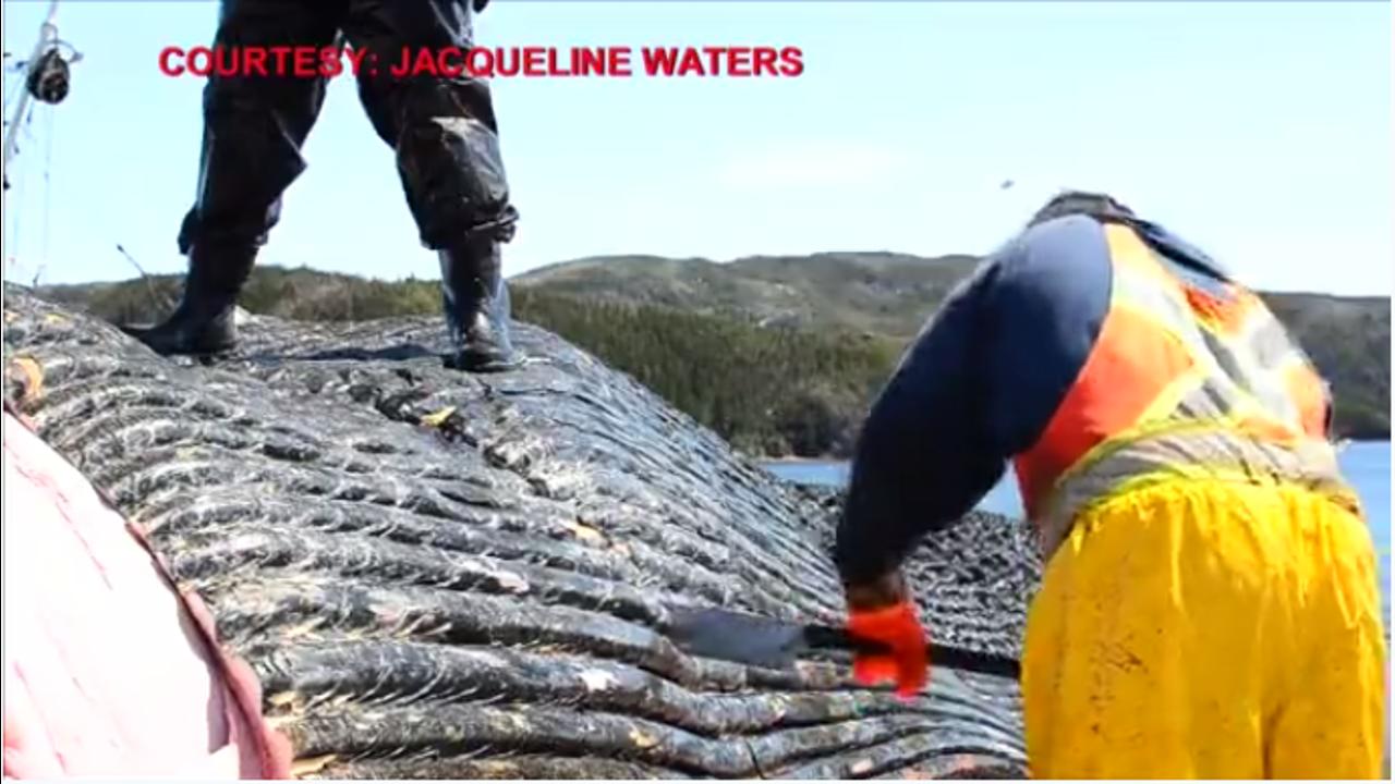 Wissenschaftler bergen Blauwal-Herz