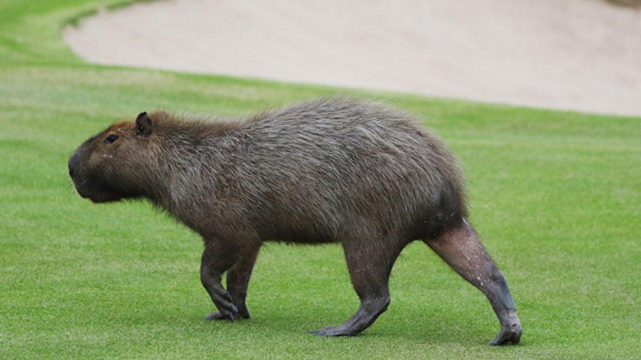 Dog-Sized Rodents 'Capybaras' Invade Florida