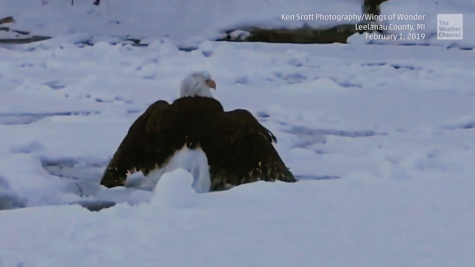 Adler stecken vier Kilo Eis in den Federn – dann beginnt herzerwärmende Rettung
