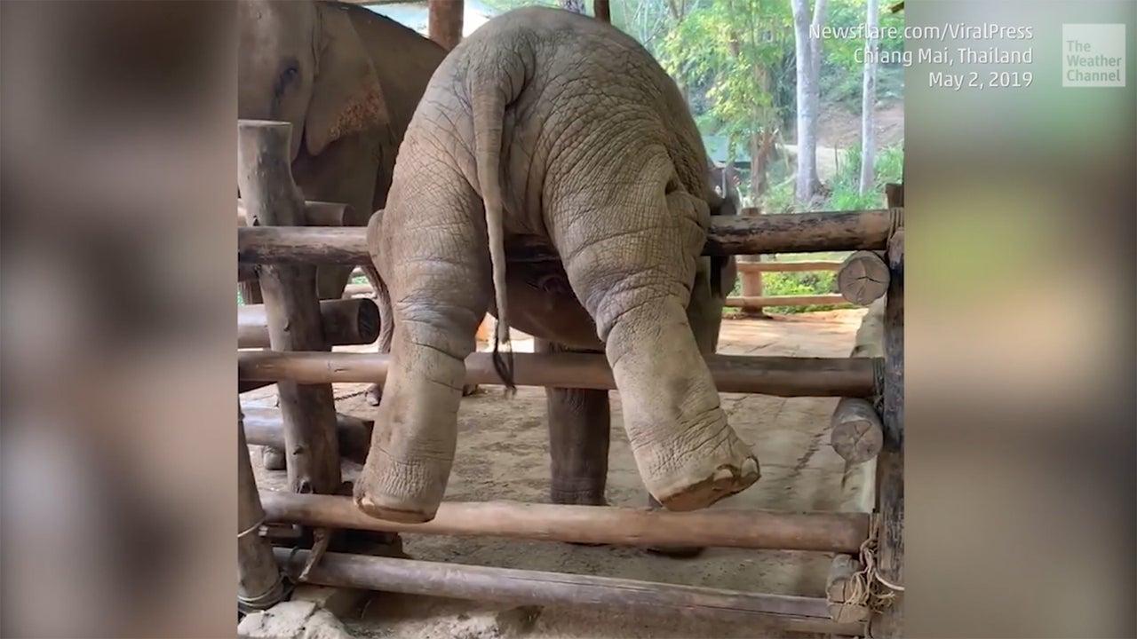 Junger Elefant nimmt es mit einem Zaun auf und beweist Ausdauer