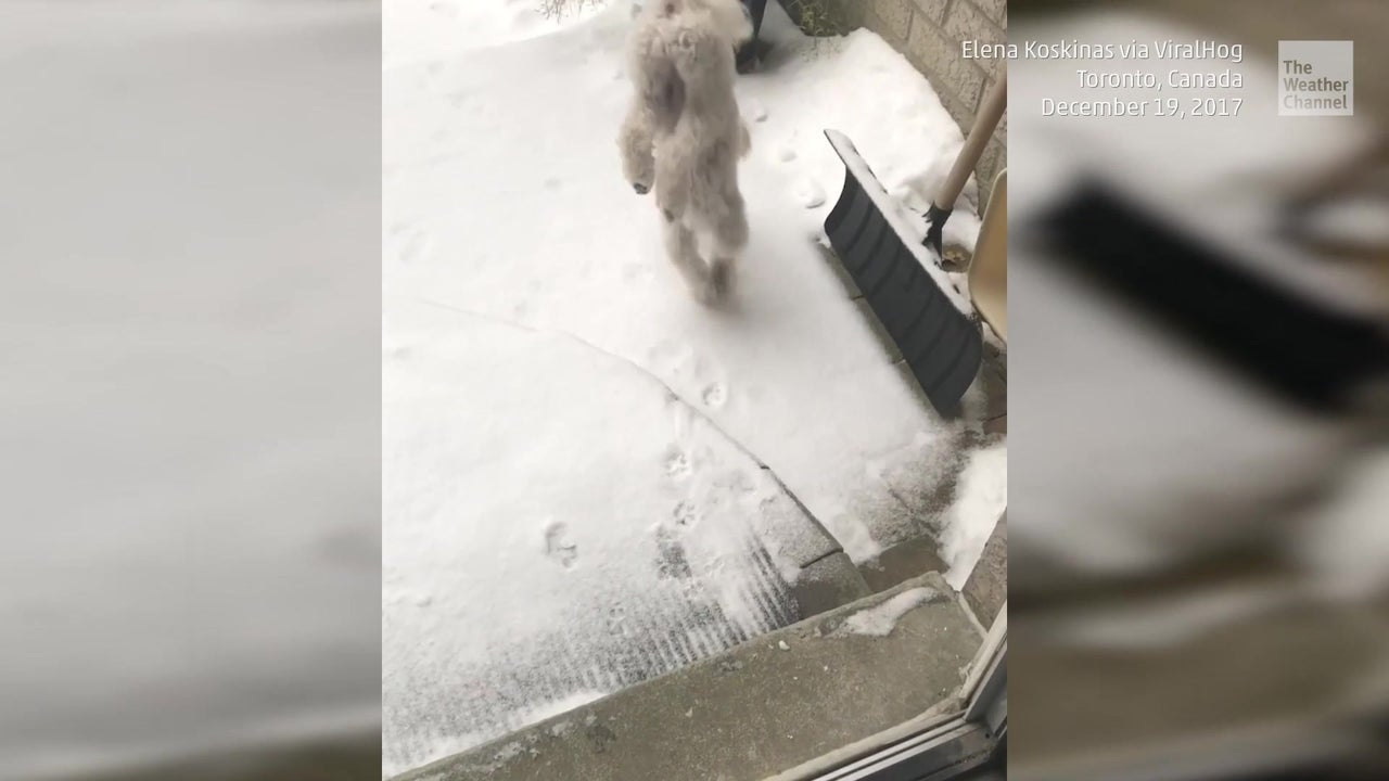 Tierischer Akrobat: Hund läuft auf zwei Pfoten durch den Schnee
