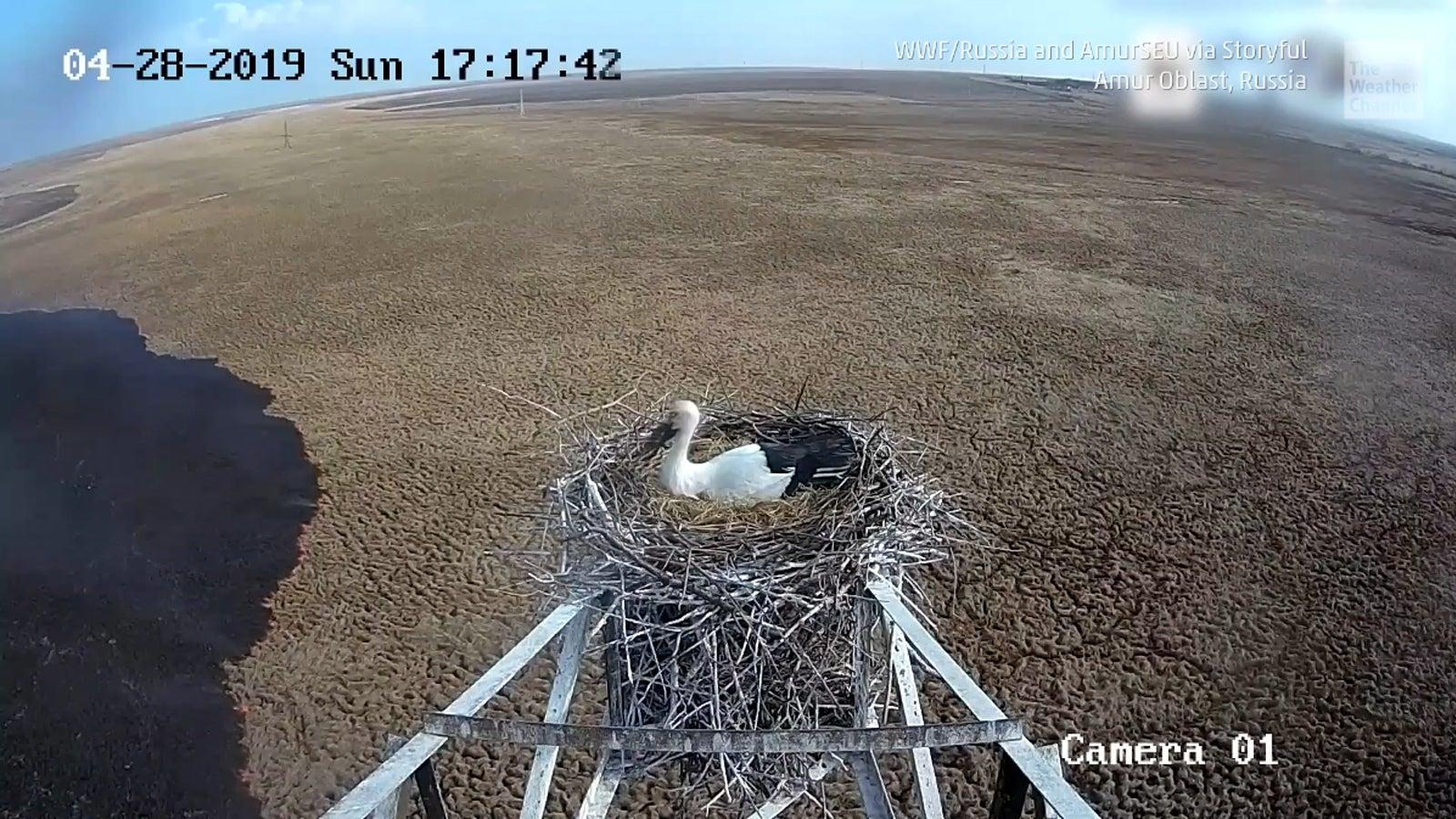 Aufnahmen einer Wildkamera des WWF zeigen einen vom Aussterben bedrohten Storch beim Brüten in Russland. Doch plötzlich wird die Szene dramatisch, ein riesiger Brand breitet sich unter dem Nest aus.