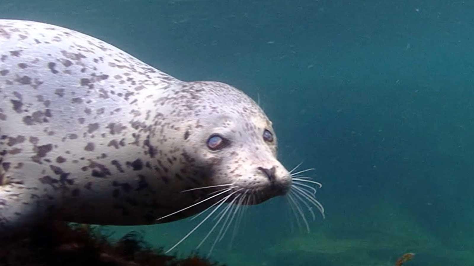 Sehbehinderte Robbe zeigt unbändigen Überlebenswillen