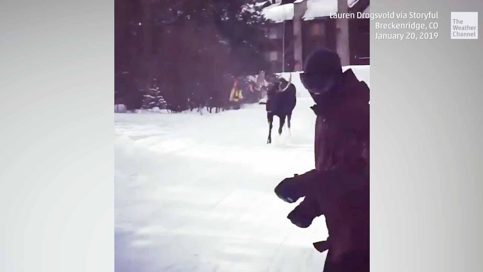 Winterspaß geht anders: Wütender Elch jagt Snowboarderin auf der Piste