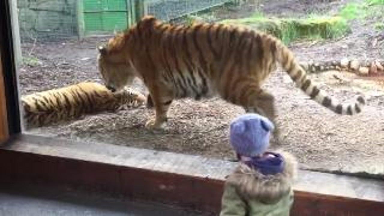 Tigers Play at Dublin Zoo