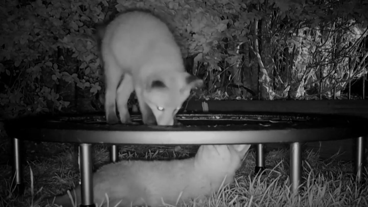 Als Füchse ein Trampolin entdecken, gibt es kein Halten