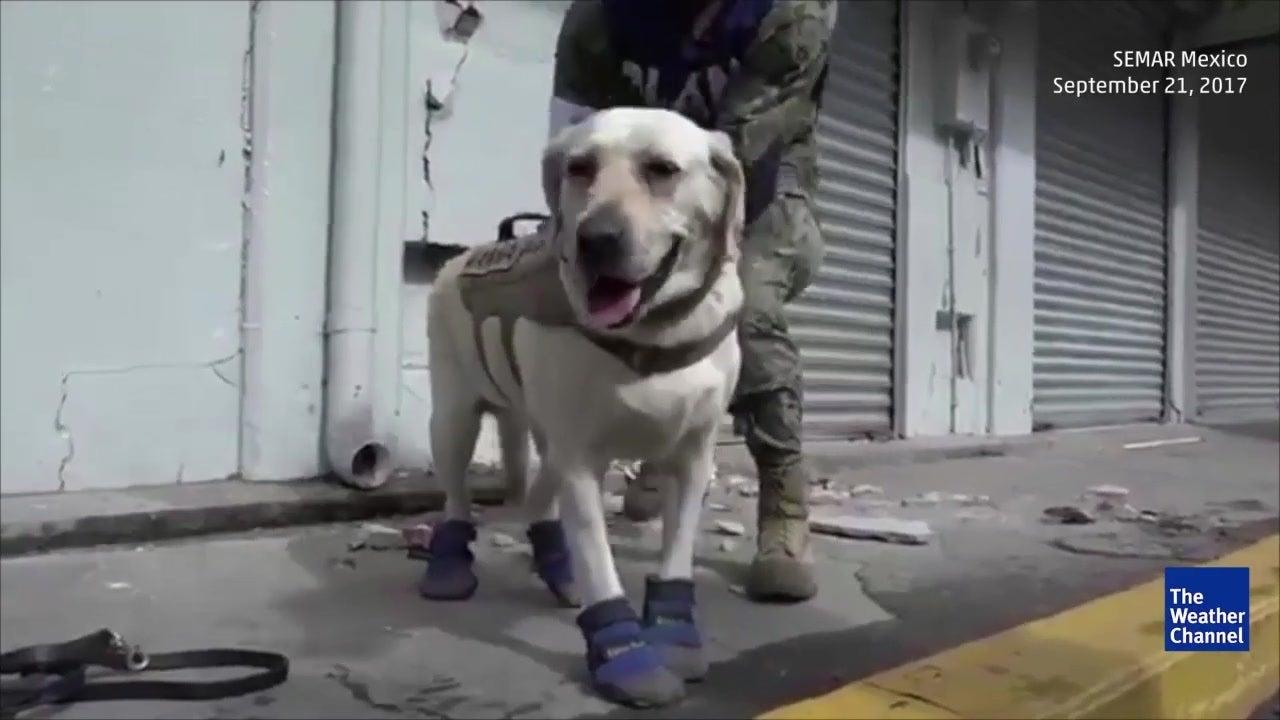 Rettungshund Frida wird Mexikos neue Heldin