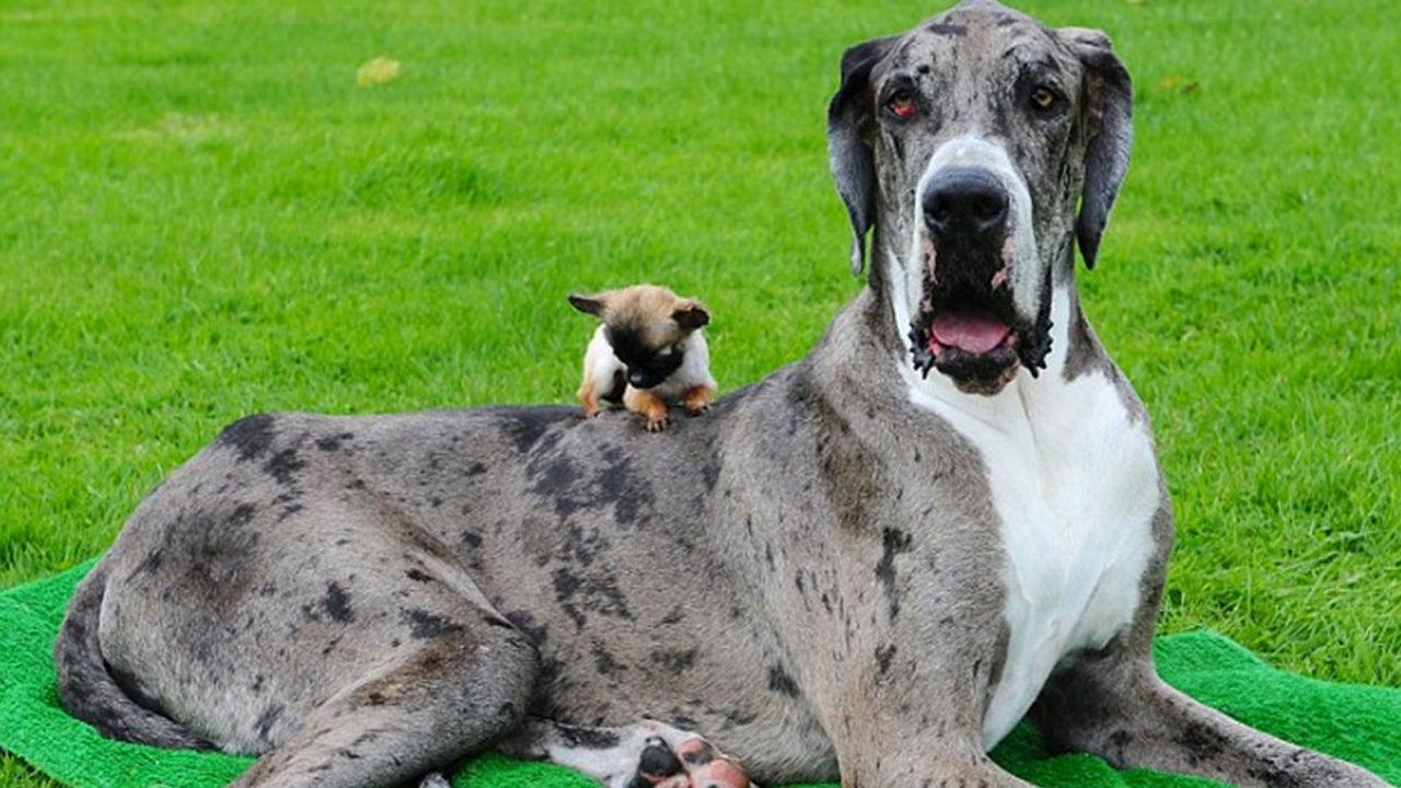Der Größte Hund Auf Der Ganzen Welt