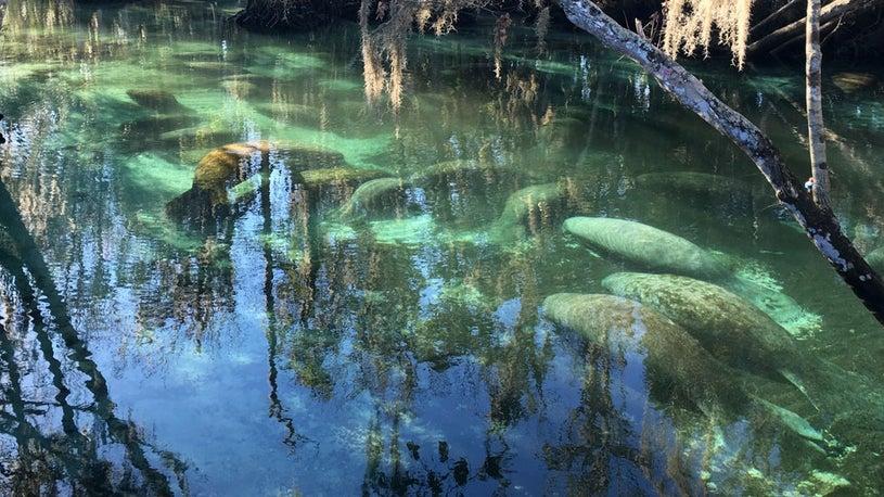 Authorities Say Cold Kills Dozens of Manatees in Florida