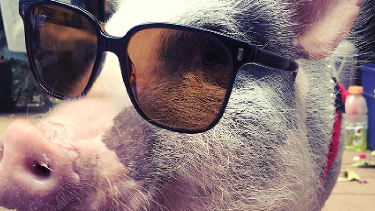 Schweinedame nimmt Fluggästen die Angst vorm Fliegen