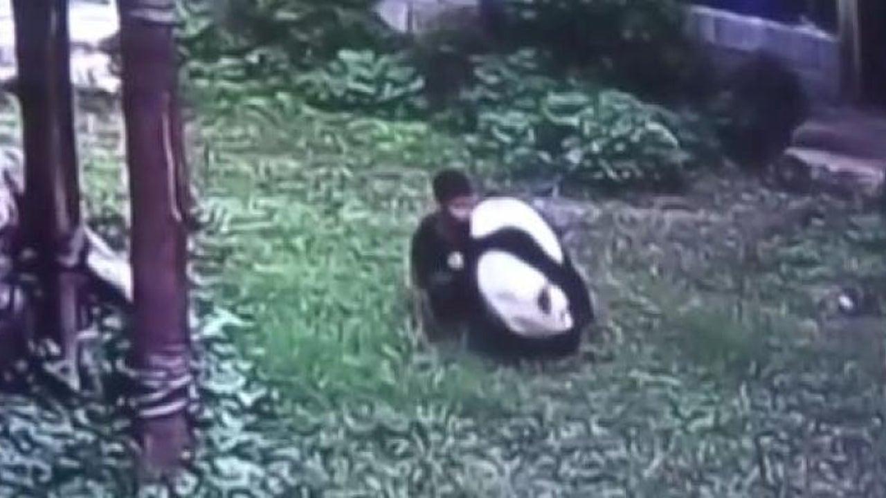 Chinese schleicht sich an schlafenden Panda heran - der wacht auf