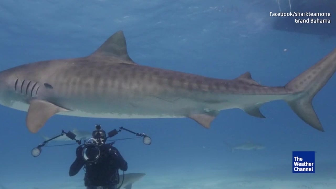 Shark Team One Leads Expedition with Tiger Sharks