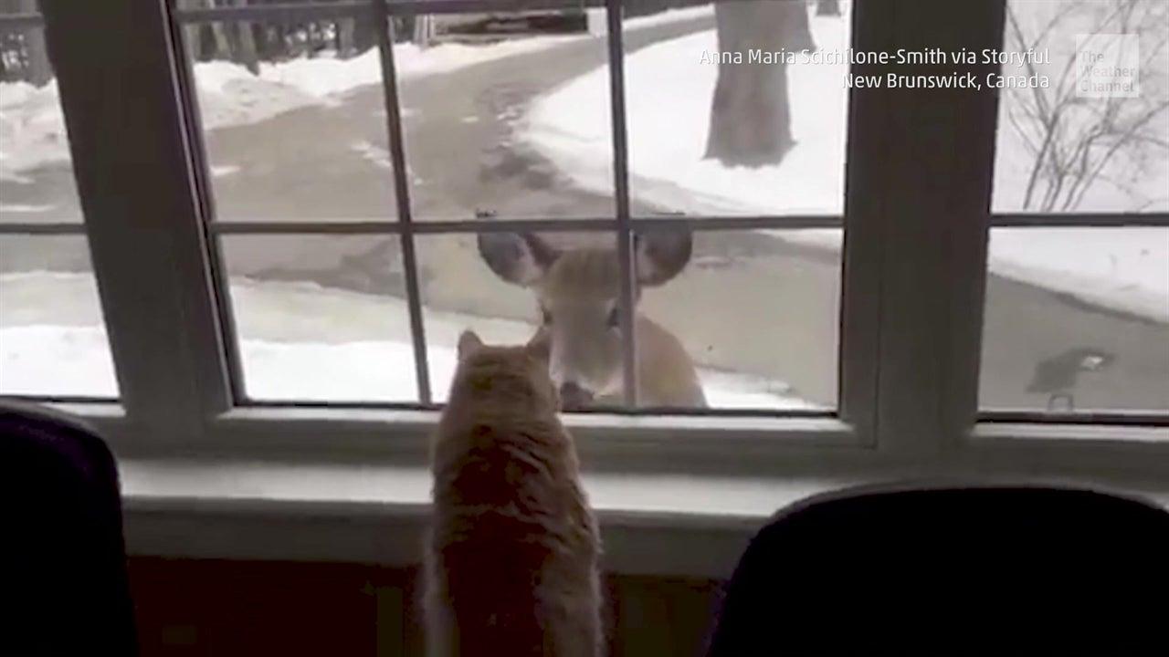 Gato y ciervo se saludan por la ventana