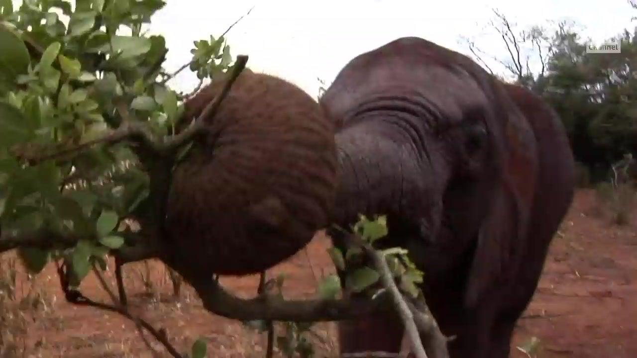 Elefantes africanos evolucionan sin colmillos