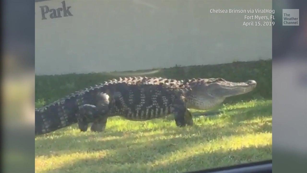 Florida se vuelve cumbre de Tinder para cocodrilos