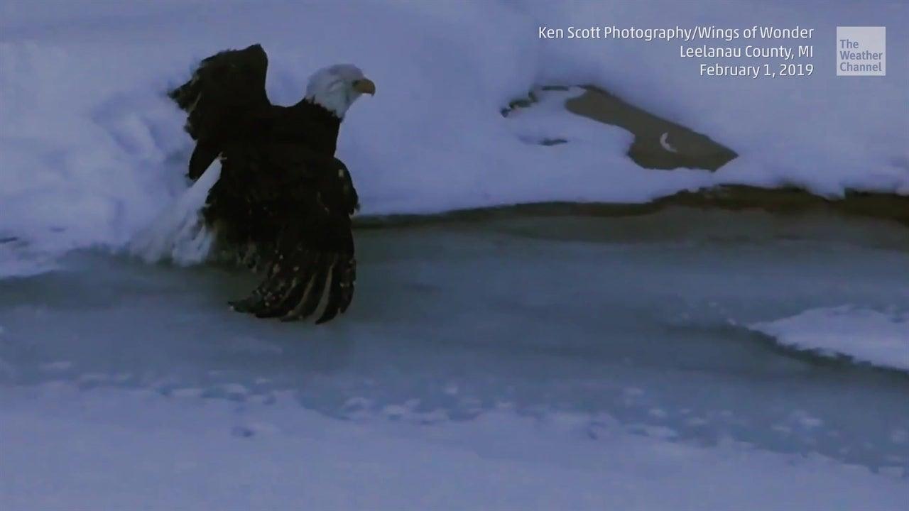 Águila calva liberada del hielo en Michigan