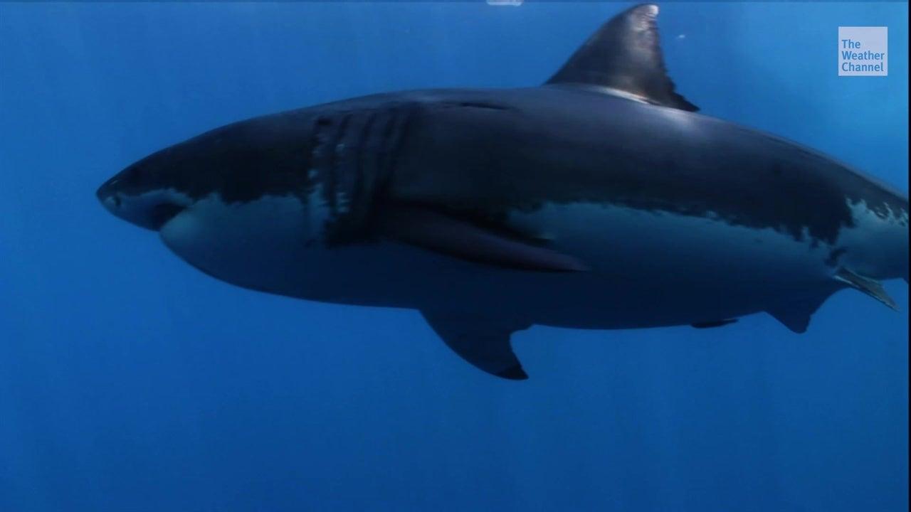 Gran tiburón blanco le teme a las orcas
