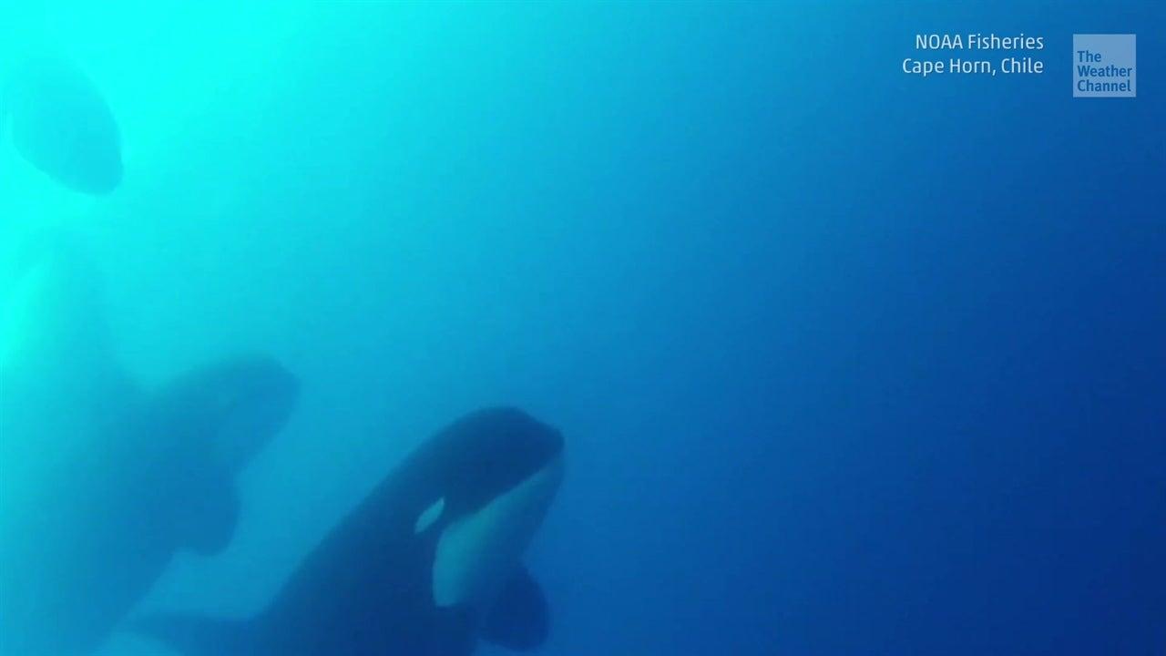 ¿Nueva ballena asesina descubierta?