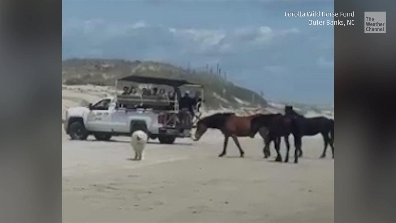Perros molestan a caballos salvajes en la playa