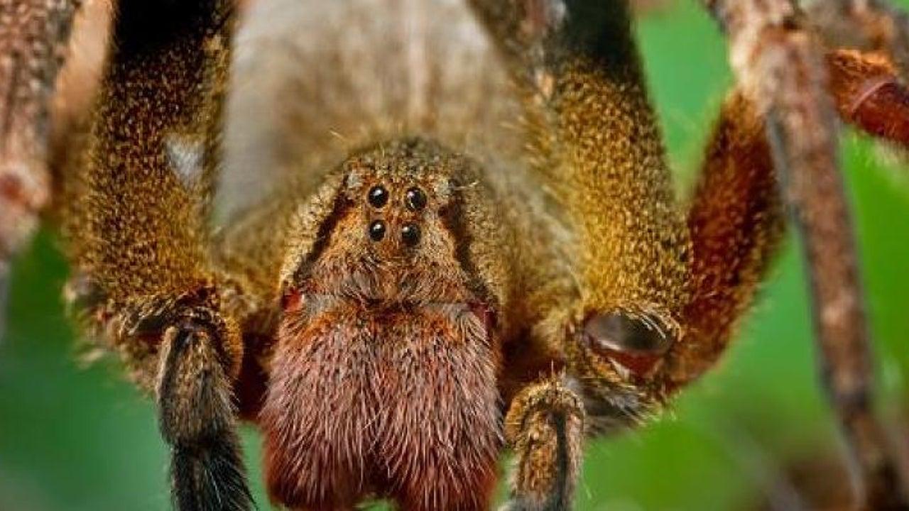 Tödliche Spinne in Bananenkarton entdeckt