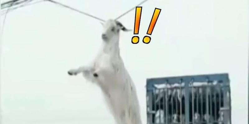 Ziege springt von Lkw - bleibt aber mit Hörnern hängen
