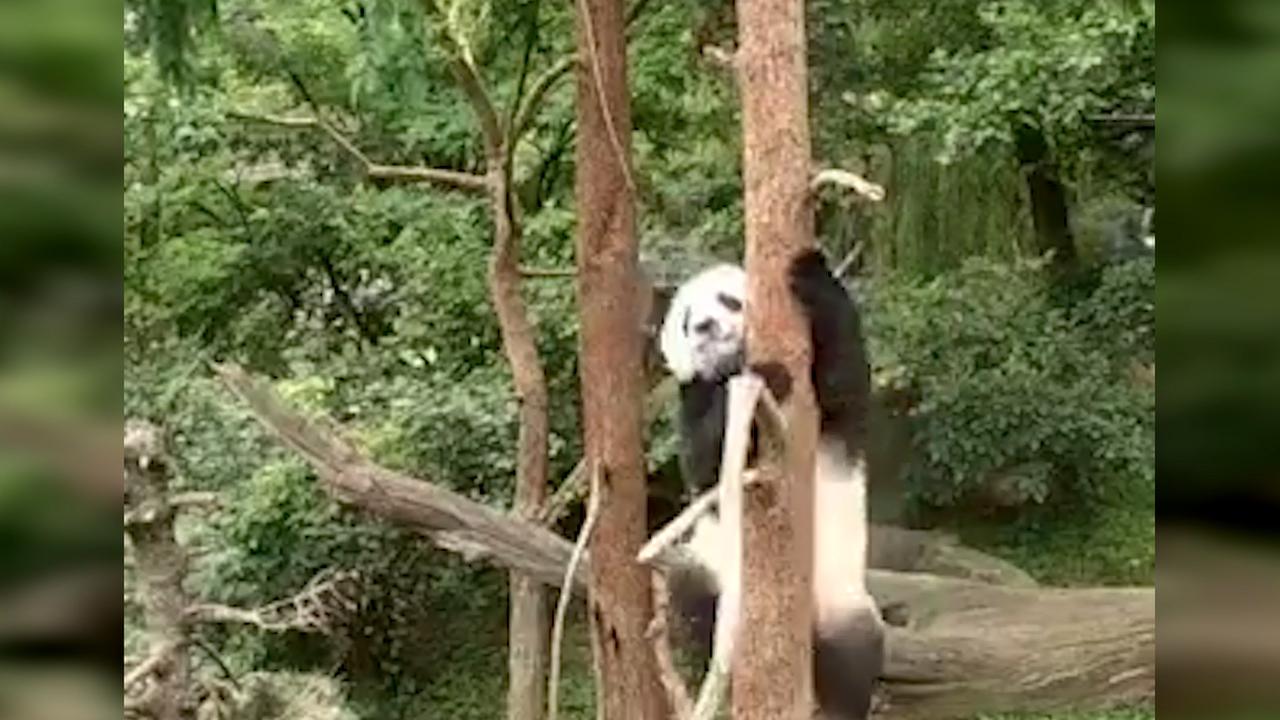 Panda Bei Bei: Sein ungewöhnliches Hobby macht ihn berühmt