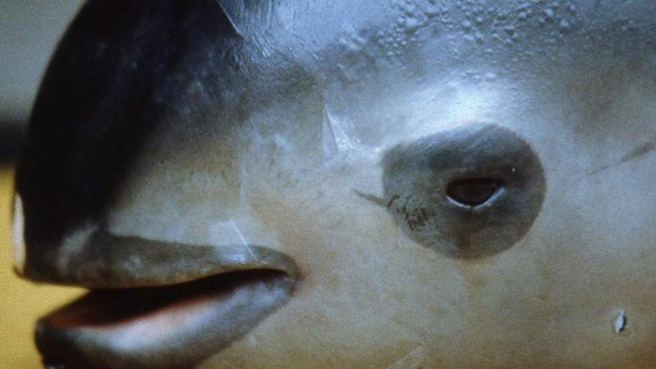 Vom Aussterben bedroht: Es gibt nur noch 30 weltweit: Darum rotten Asiaten die Vaquita-Delfine aus