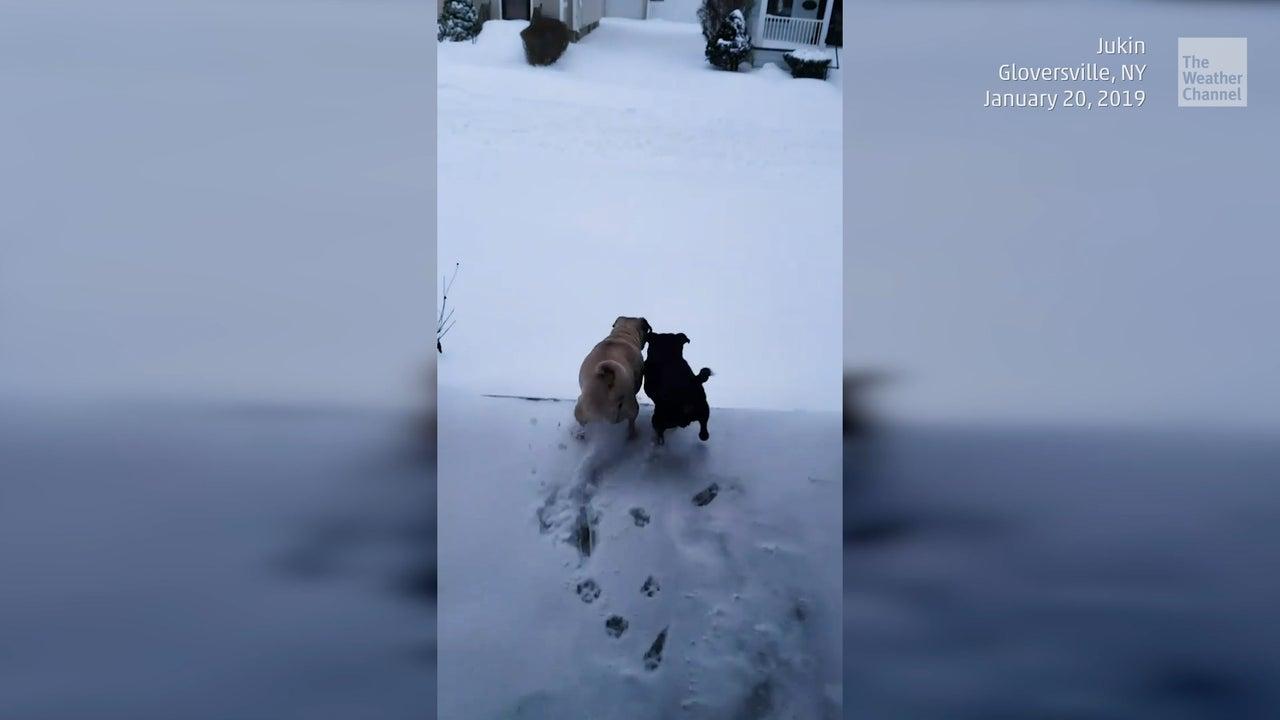 Wie junge Möpse auf den ersten Schnee reagieren
