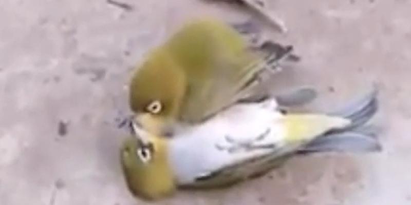 Rührendes Video : Vogel trauert um toten Freund und stirbt auch