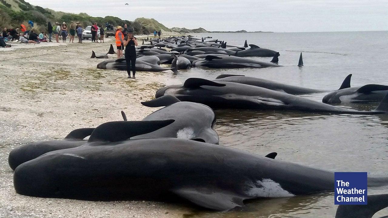 Explosionsgefahr: Strände wegen toter Wale gesperrt