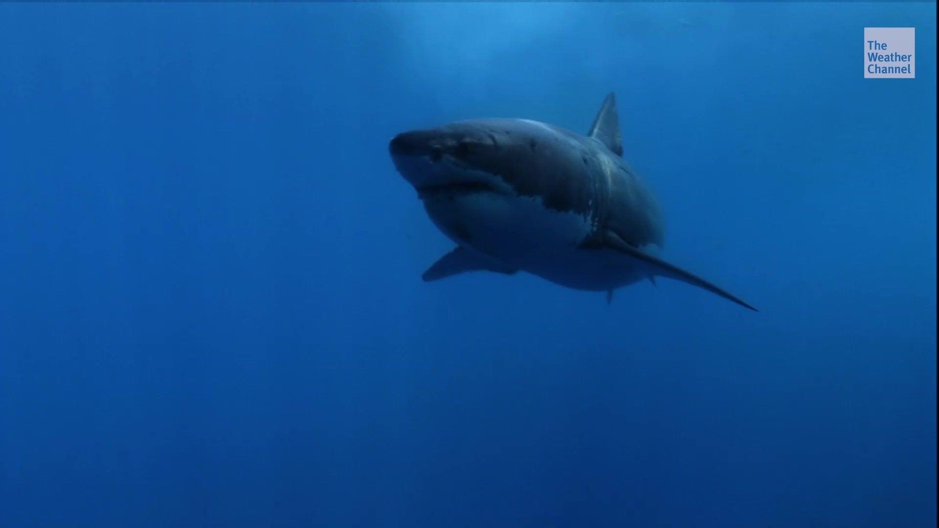 Untersuchung zeigt: Ein Tier treibt sogar den Weißen Hai in die Flucht