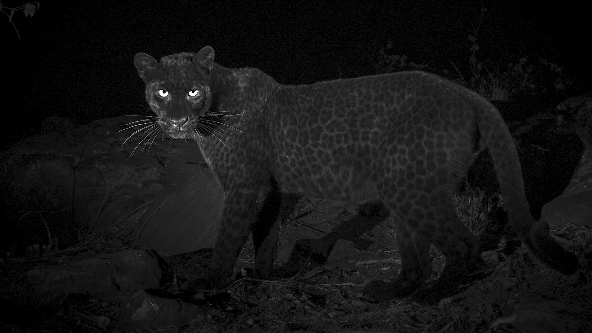 Rare Black Leopard Spotted in Africa for First Time in Over 100 Years