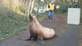 Wayward Sea Lion Blocks Washington Road