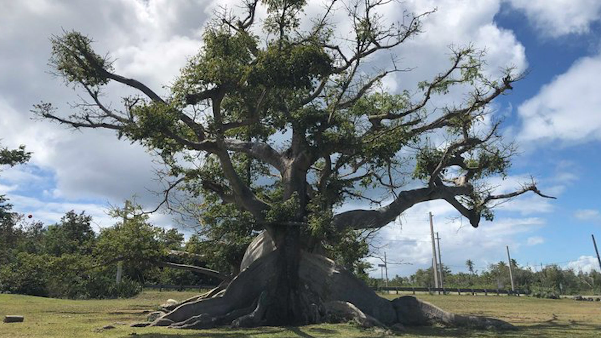 Ancient Tree Makes Comeback After Puerto Rico's Hurricanes