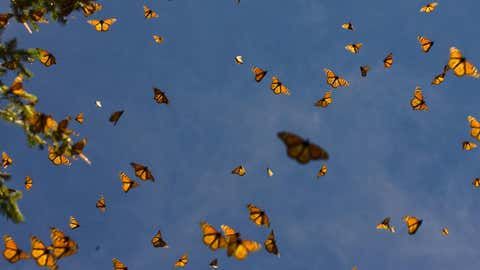 A view of monarch butterflies in the Oyamel forest at El Rosario sanctuary in Angangueo, state of Michoacan, Mexico. Every year from October to March 20 million of Monarch butterflies migrate there to breed, traveling more than 4,500 kilometers from the United States and Canada. They also migrate to Southern California. (Luis Acosta/AFP/Getty Images)