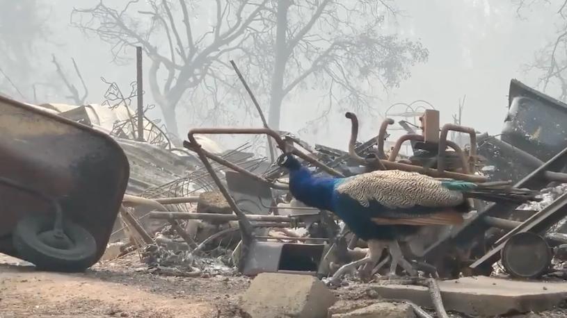 Peacocks Roam Through Glass Fire Ruins in California