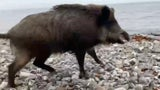 Wild Boar Charges Man on Beach