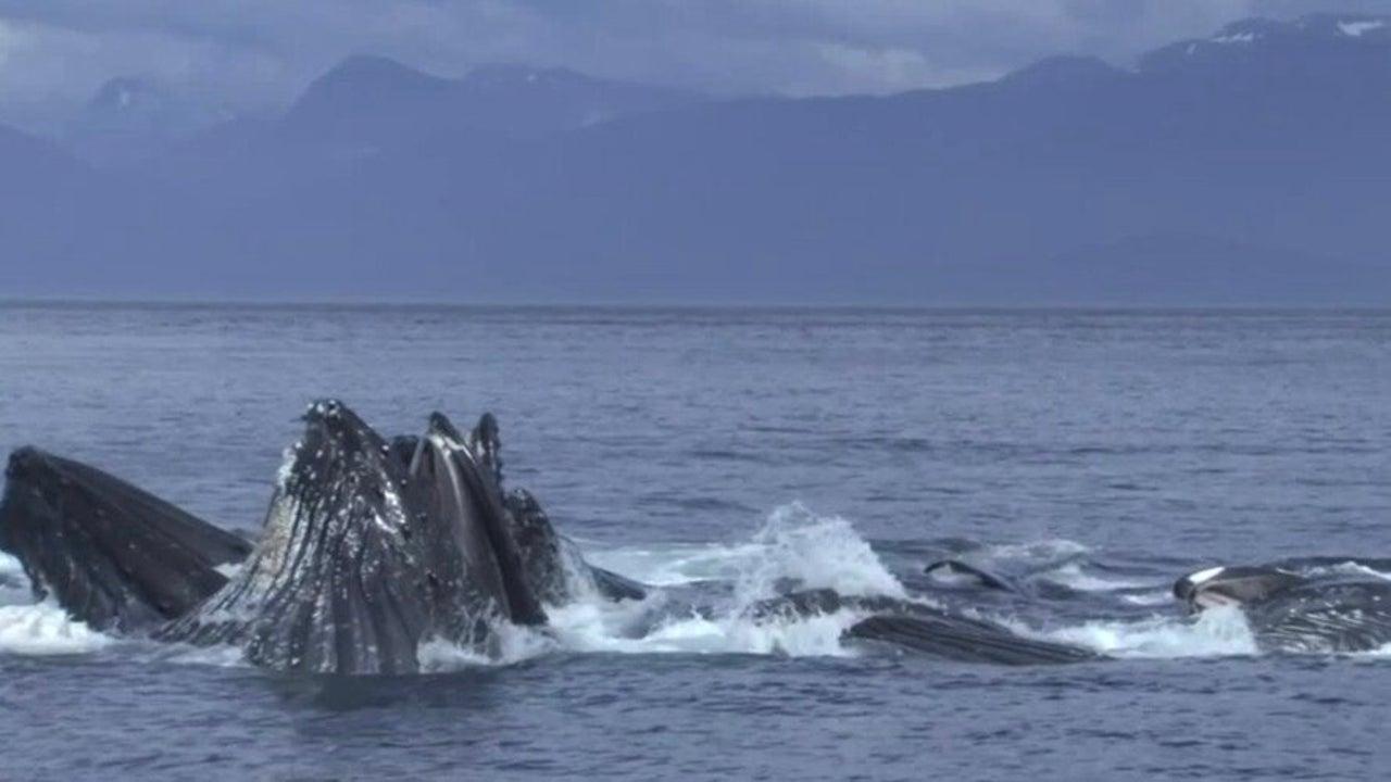 Humpback Whales Return to Alaska After 'Blob' Decimates Population