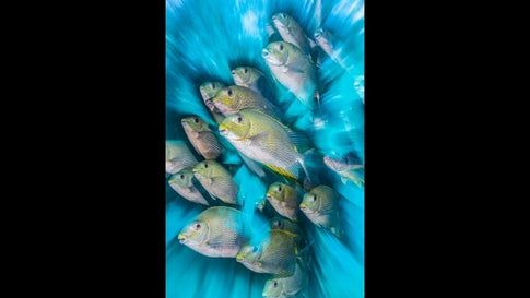 Rabbitfish Zoom Blur in Indonesia by Nick More.