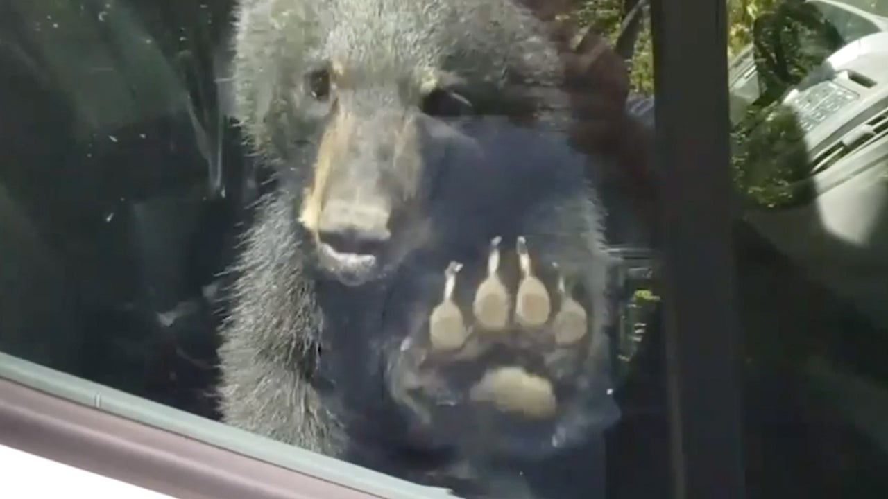 Two Bear Cubs Trapped in a Van in Gatlinburg, TN