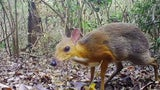 Vietnamese Mouse Deer Spotted for the First Time Since 1990