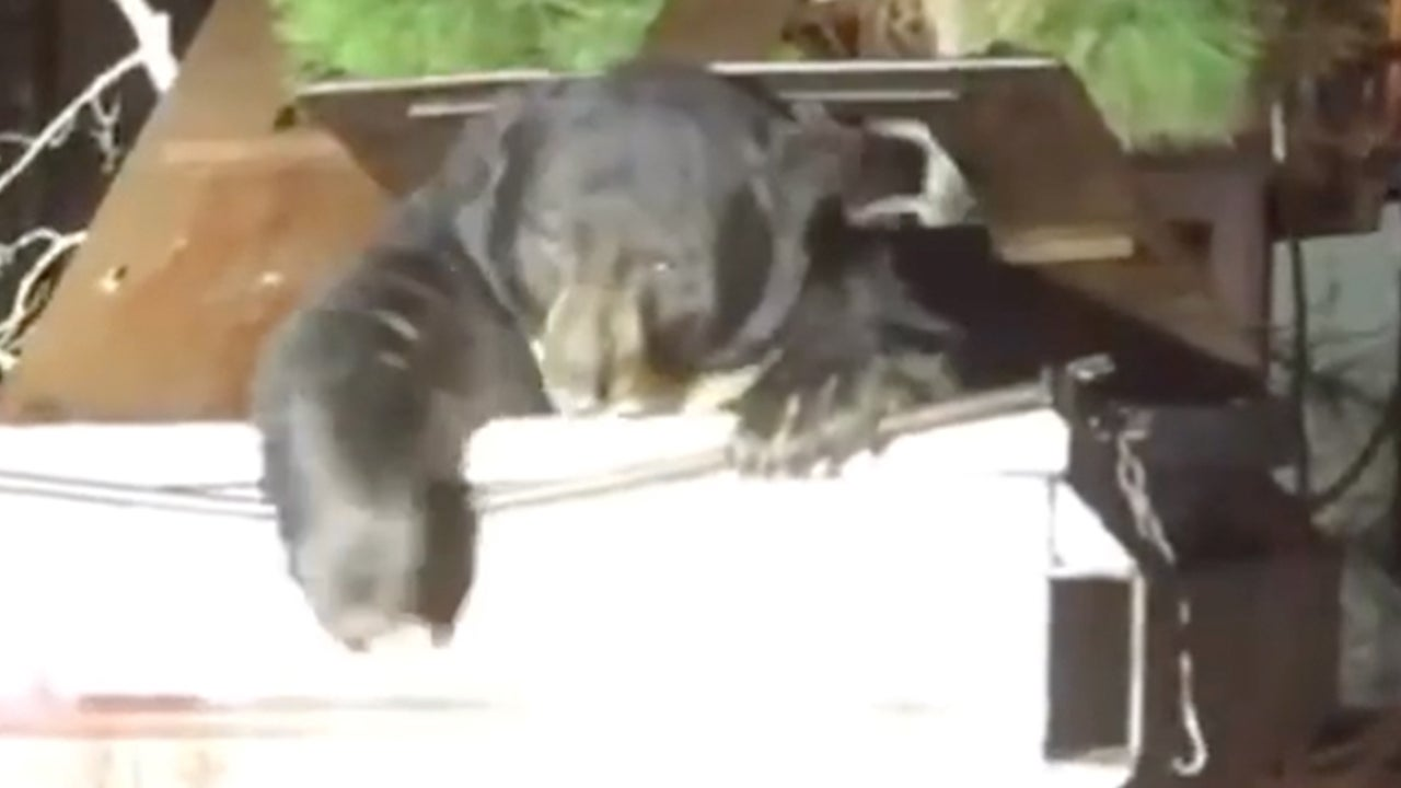 Deputies Free Chubby Bear Stuck in Dumpster in Northern California